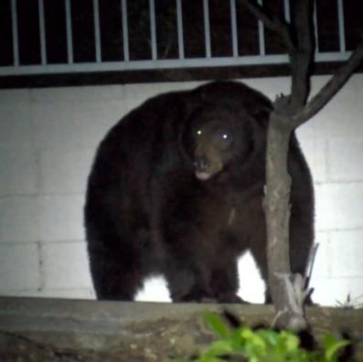 insta-bear